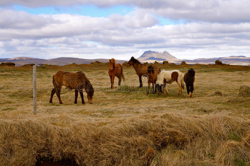 Caballos en Islandia imágenes de archivo libres de regalías