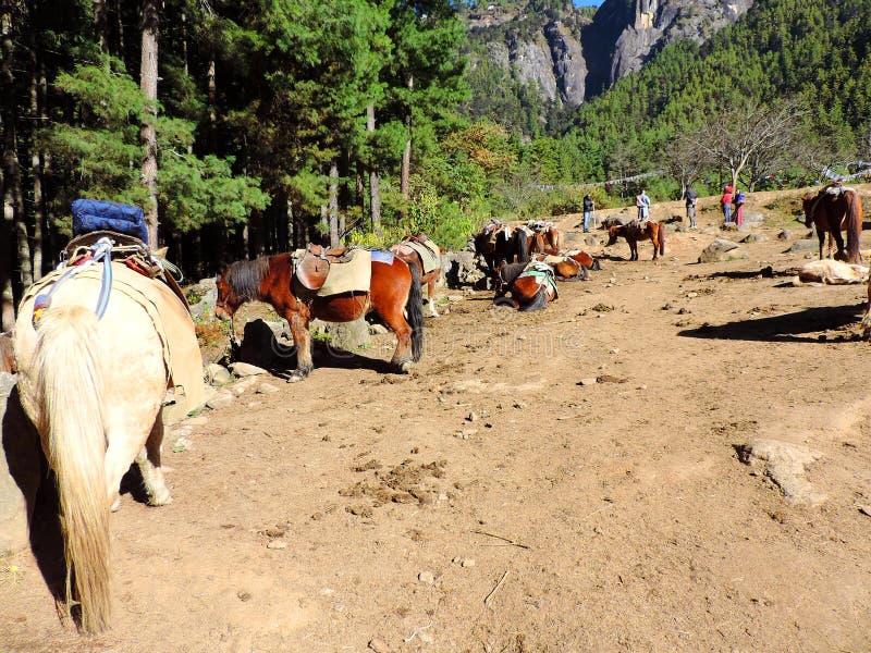 Caballos en la base de Paro Taktsang, Bhután, llevar a los viajeros hasta el top para alcanzar el templo fotografía de archivo