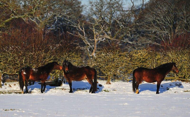 Caballos en la nieve fotografía de archivo libre de regalías