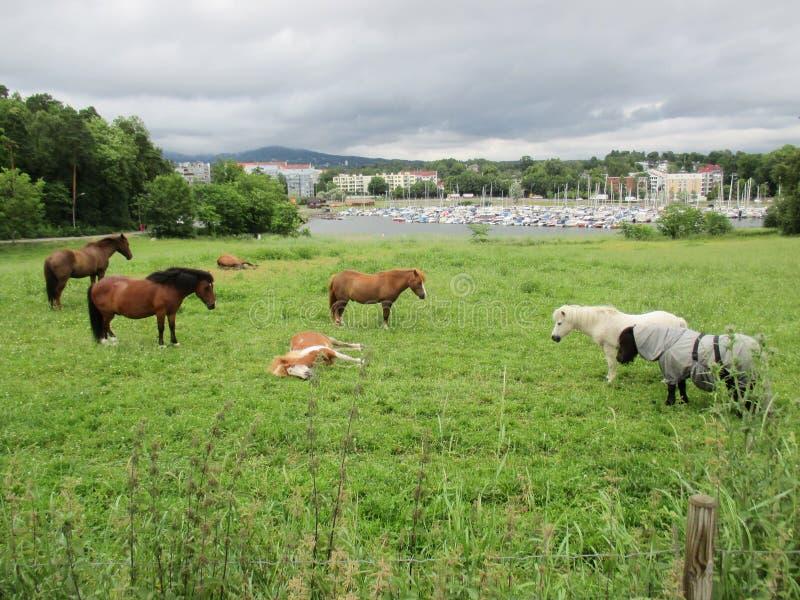 Caballos en la península de Bygdøy, Oslo foto de archivo libre de regalías