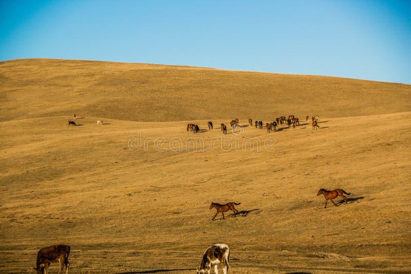 Caballos en las montañas de Kirgiz imagen de archivo libre de regalías