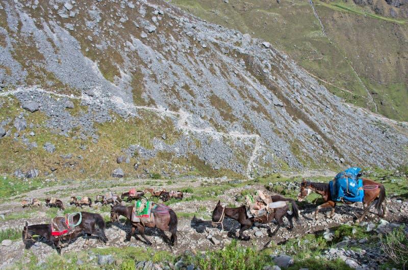 Download Caballos en los Andes perú foto de archivo. Imagen de mulas - 64208086