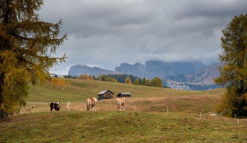 Caballos en los campos de la hermosa Alpe di siusi Seiser Alm en los dolomitas Italia imagenes de archivo