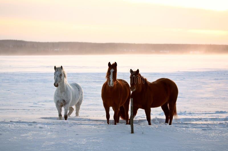Caballos en un pasto del invierno de Saskatchewan imagenes de archivo