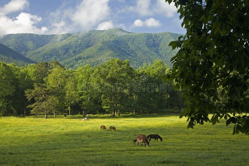 Caballos, ensenada de Cades, gran parque nacional ahumado de Mtns, TN imagen de archivo libre de regalías