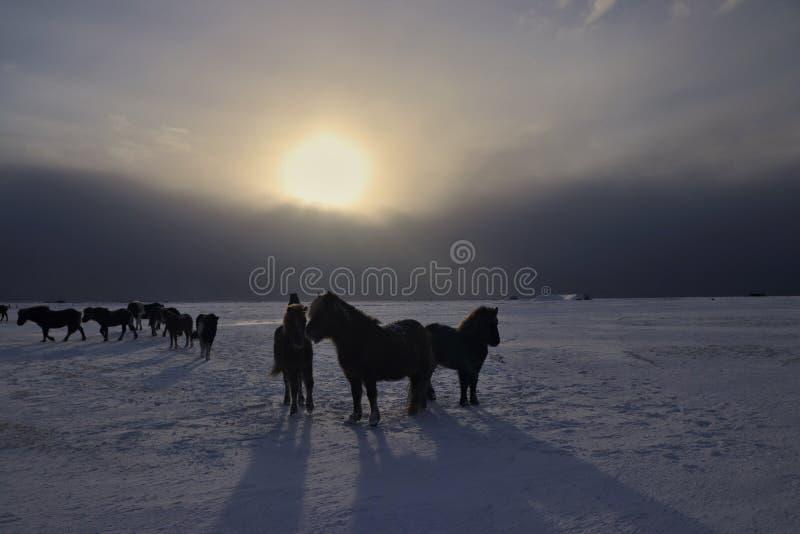 Caballos islandeses imagenes de archivo