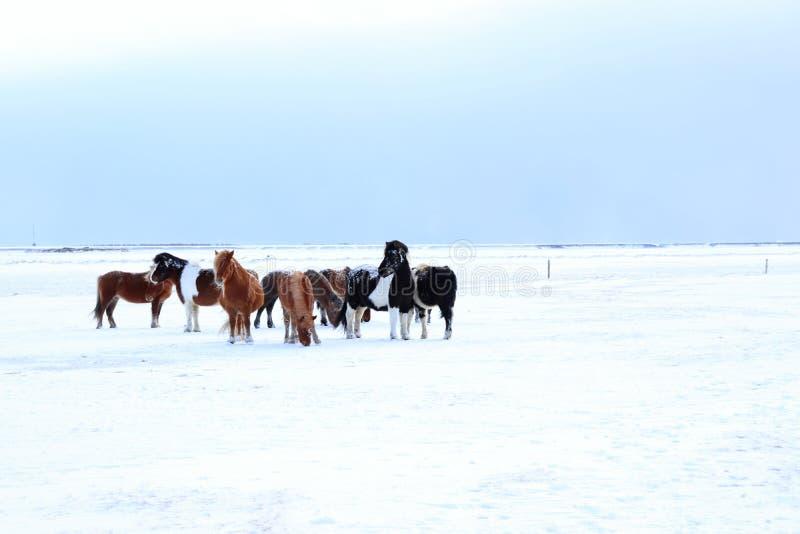 Caballos islandeses imágenes de archivo libres de regalías