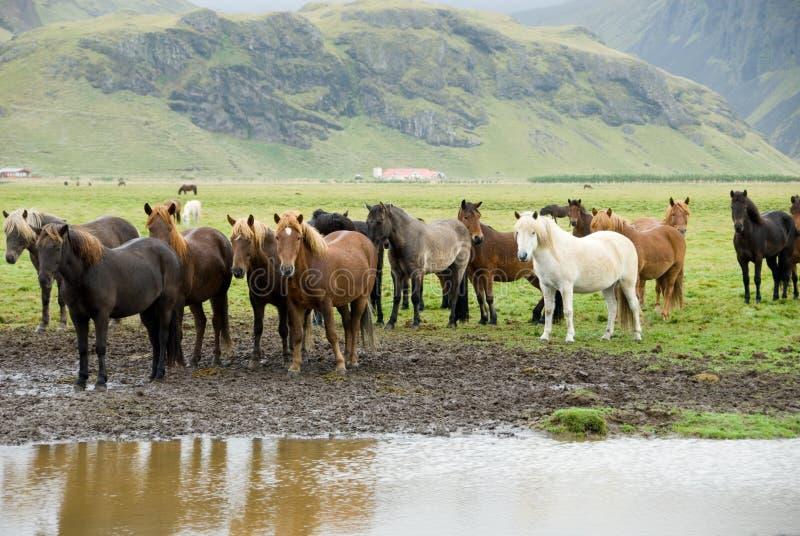 Caballos islandeses fotografía de archivo