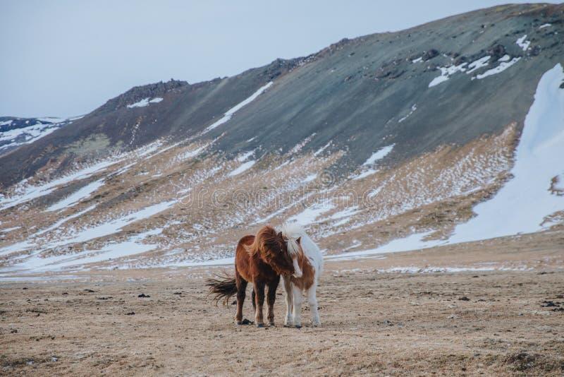 caballos islandeses asombrosos en pasto con las colinas nevadas detrás, imagenes de archivo