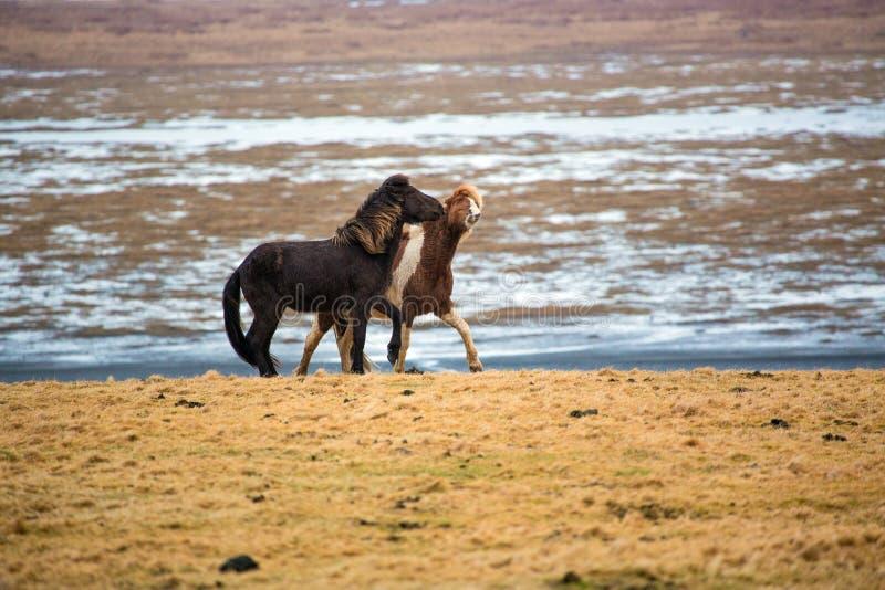 Caballos islandeses de juego en el prado en invierno fotos de archivo