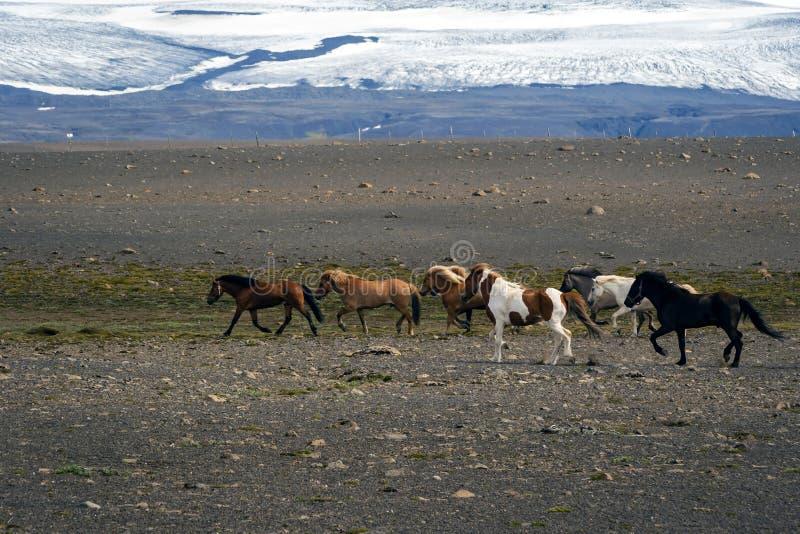 Caballos islandeses el trotar fotos de archivo