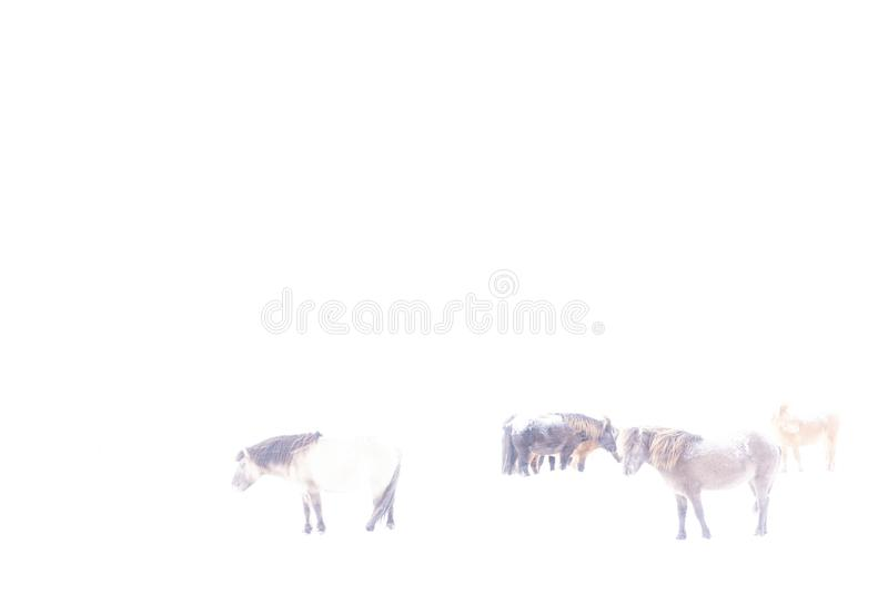 Caballos islandeses en el invierno, fotografiado en hikey stock de ilustración