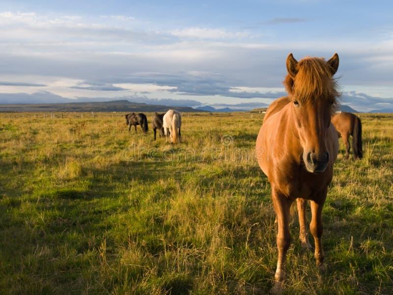 Caballos islandeses en el salvaje imágenes de archivo libres de regalías