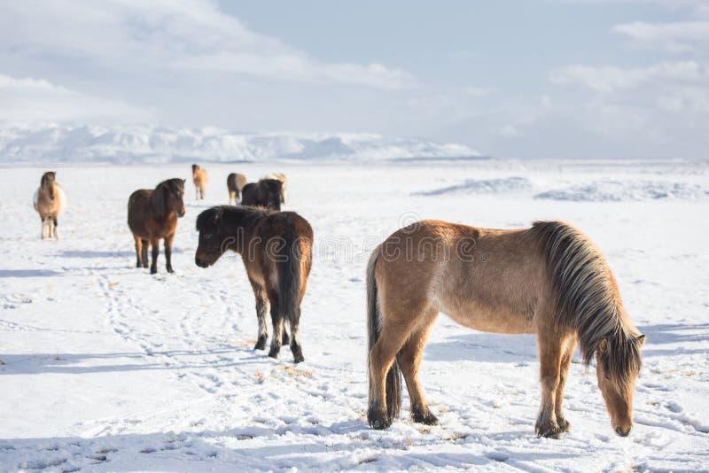 Caballos islandeses en invierno foto de archivo