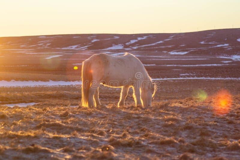 Caballos islandeses en invierno, Islandia del norte fotos de archivo