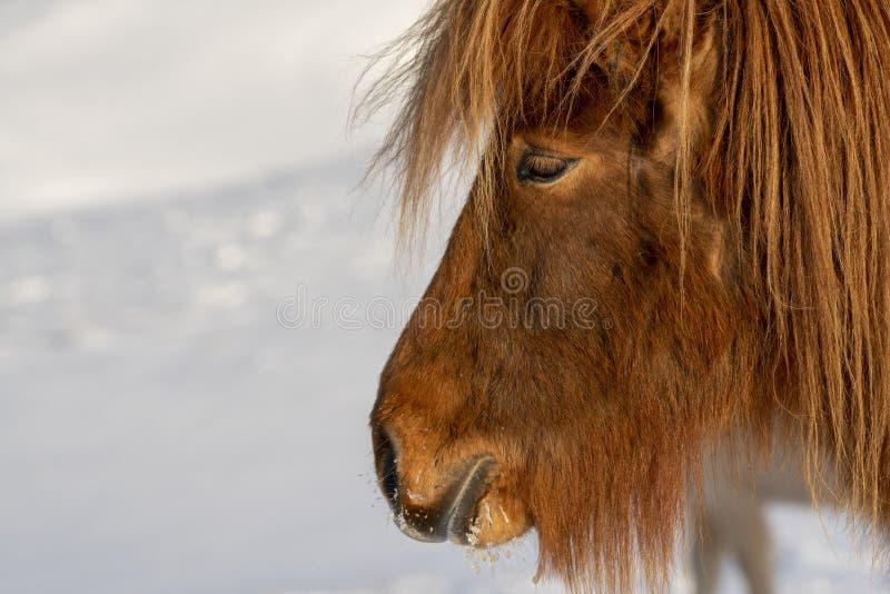 Caballos islandeses en invierno - un primer fotografía de archivo libre de regalías