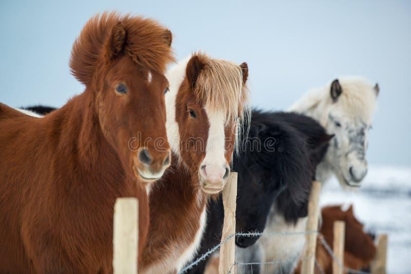 Caballos islandeses hermosos en invierno, Islandia fotos de archivo