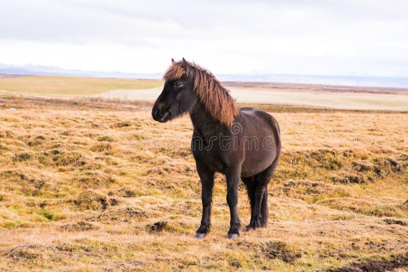 Caballos islandeses Caballos islandeses hermosos en Islandia Grupo de caballos islandeses que se colocan en el campo con el fondo imágenes de archivo libres de regalías