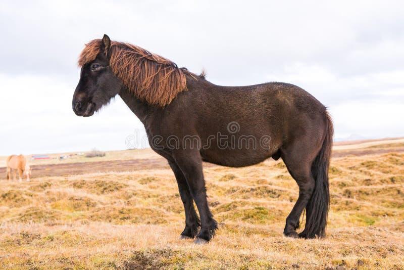 Caballos islandeses Caballos islandeses hermosos en Islandia Grupo de caballos islandeses que se colocan en el campo con el fondo fotos de archivo libres de regalías