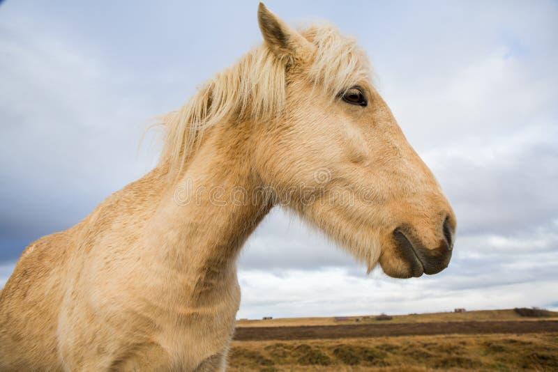 Caballos islandeses Caballos islandeses hermosos en Islandia Grupo de caballos islandeses que se colocan en el campo con el fondo imagen de archivo libre de regalías