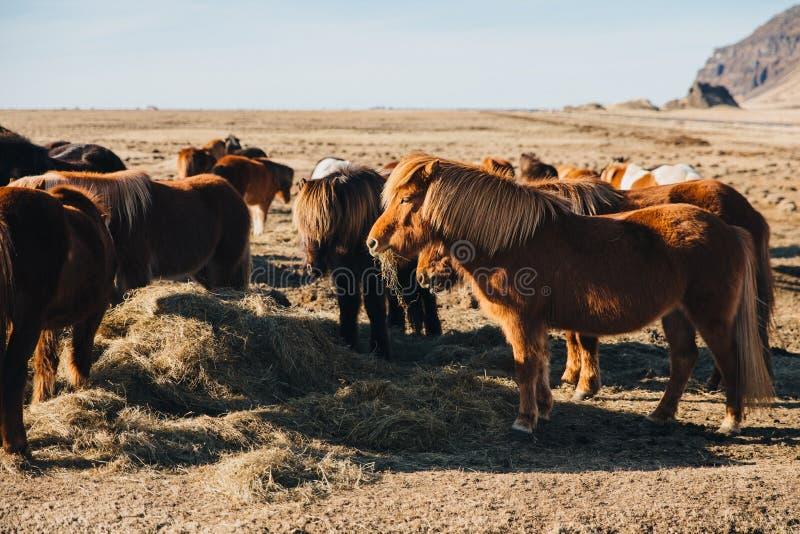 caballos islandeses hermosos que pastan en el pasto en el día soleado, Holtsos, Islandia foto de archivo