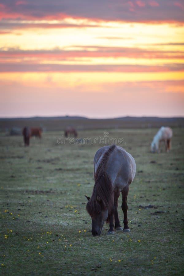 Caballos islandeses hermosos que pastan en el sol de medianoche imágenes de archivo libres de regalías
