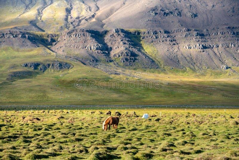 Caballos islandeses que pastan en un campo rocoso en Islandia foto de archivo