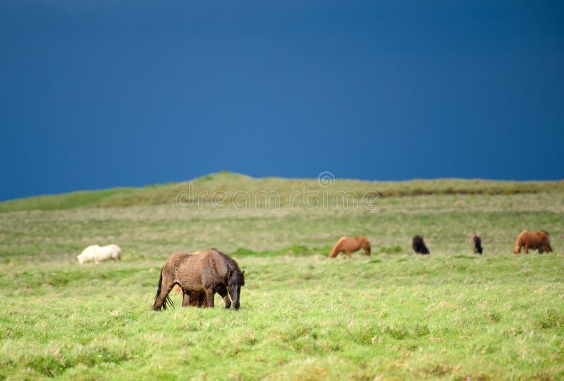 Caballos islandeses salvajes en pasto verde fresco en Islandia foto de archivo libre de regalías