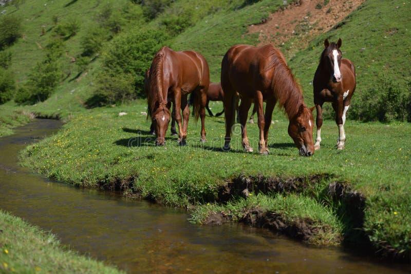 Caballos marrones salvajes hermosos que comen en campo de hierba verde cerca del mou foto de archivo libre de regalías