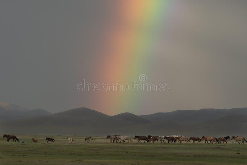 Caballos que corren debajo de un arco iris en Mongolia imagen de archivo