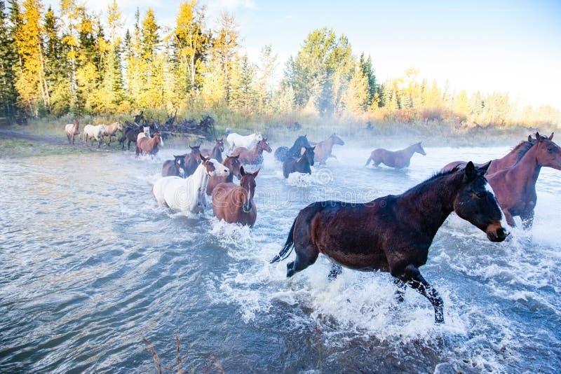 Caballos que cruzan un río en Alberta, Canadá fotografía de archivo libre de regalías