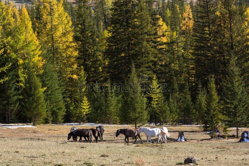Caballos que pastan cerca de un bosque en otoño República de Altai imagen de archivo libre de regalías