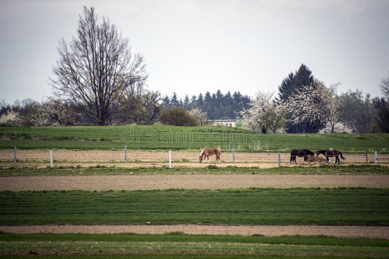 Caballos que pastan en el corral en un prado verde cerca de un pequeño pueblo fotografía de archivo libre de regalías