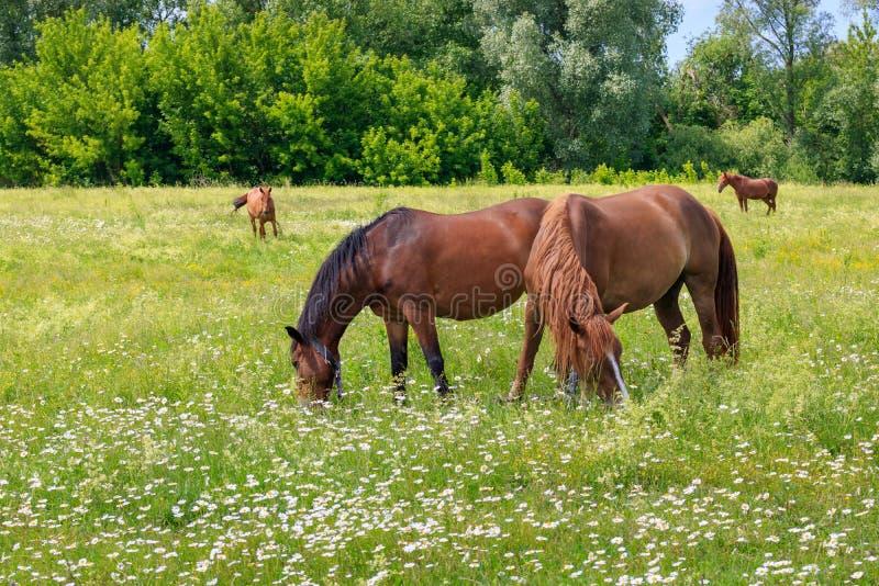 Caballos que pastan en hierba verde de un prado en un día de verano soleado imagen de archivo