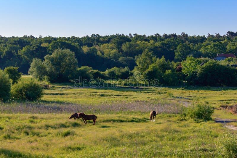 Caballos que pastan en hierba verde de un prado en una mañana soleada del verano imagen de archivo libre de regalías