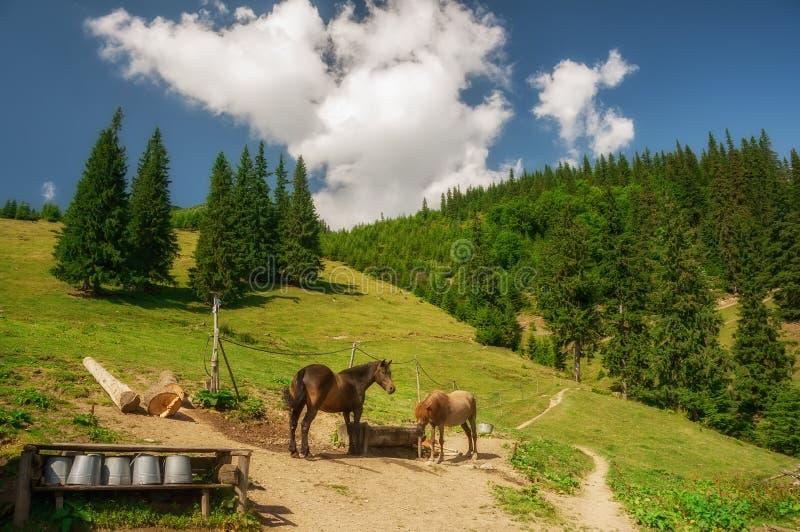 Caballos que pastan en un prado en las montañas cárpatos ucrania foto de archivo libre de regalías