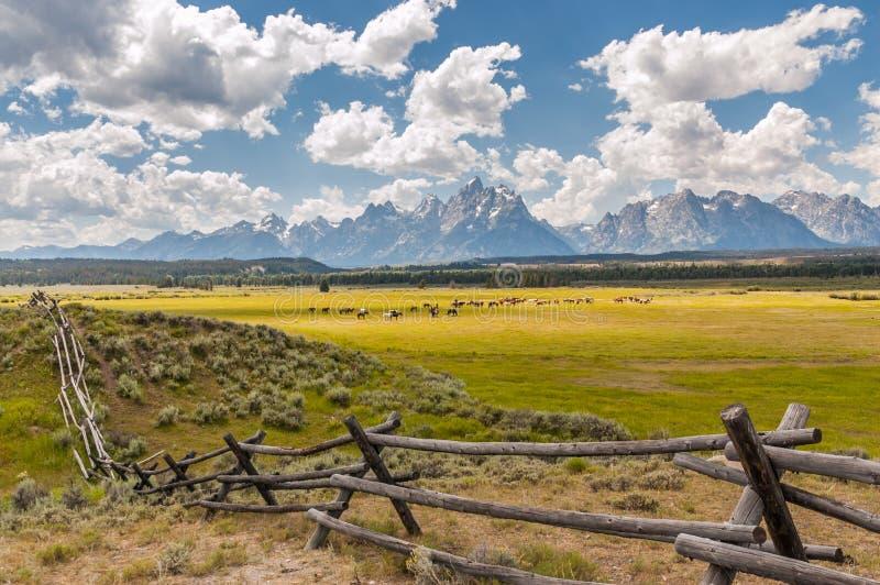 Caballos que pastan pastos soleados en colinas de Tetons magnífico, Wyom fotografía de archivo