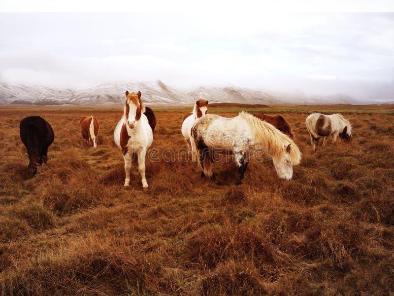 Caballos rurales islandeses hermosos en paisaje agrícola natural con el fondo coronado de nieve de la cordillera fotos de archivo