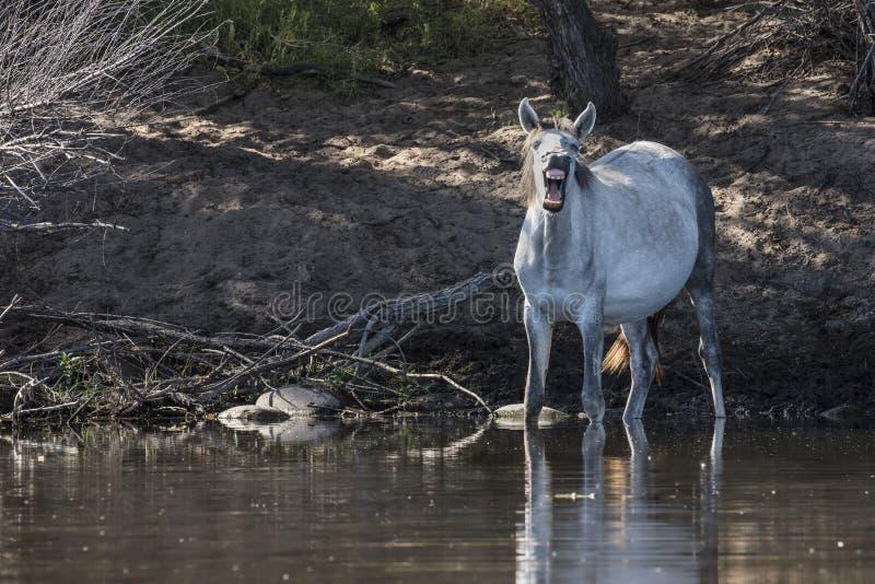 Caballos salvajes en el río Salt, bosque del Estado de Tonto foto de archivo libre de regalías