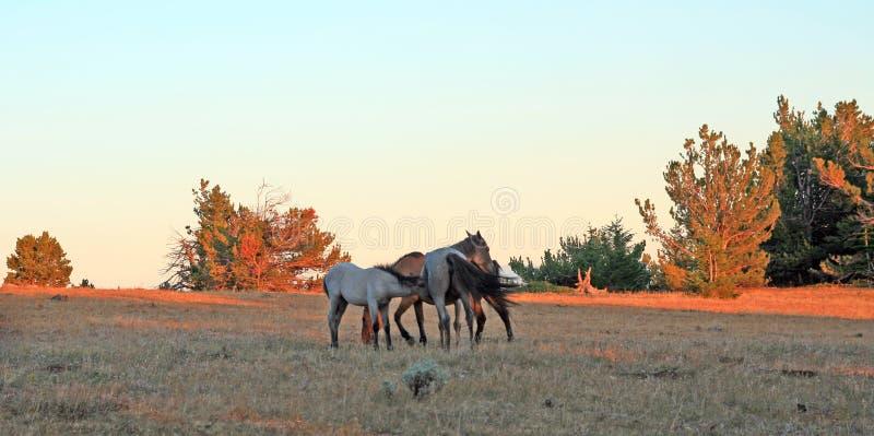 Caballos salvajes en la puesta del sol - Roan Colt azul que cuida a su madre melada azul de la yegua en Tillett Ridge en las mont foto de archivo