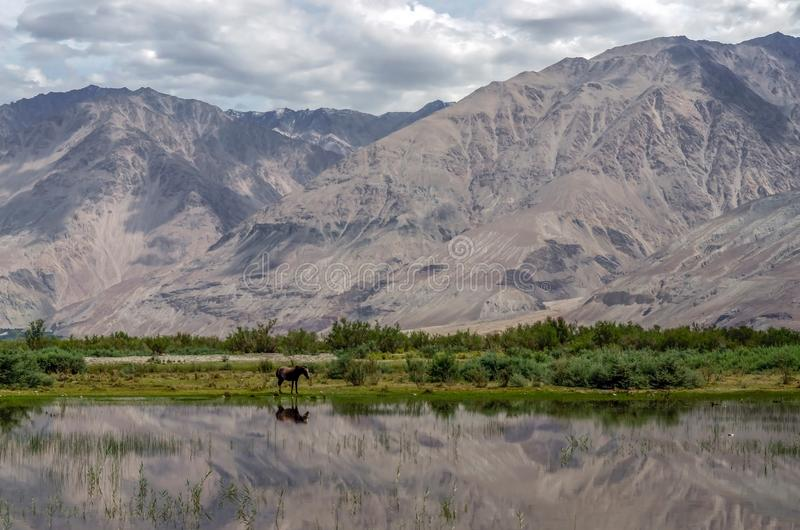 Caballos salvajes en las llanuras de inundación del valle de Nubra imagen de archivo libre de regalías