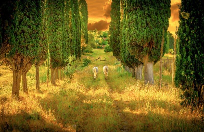 Caballos salvajes entre árboles de ciprés foto de archivo
