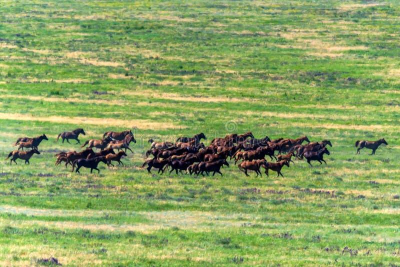 Caballos salvajes gallopping en prado del verano imagen de archivo libre de regalías