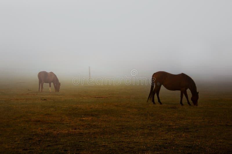Caballos salvajes que pastan por mañana de niebla fotos de archivo libres de regalías