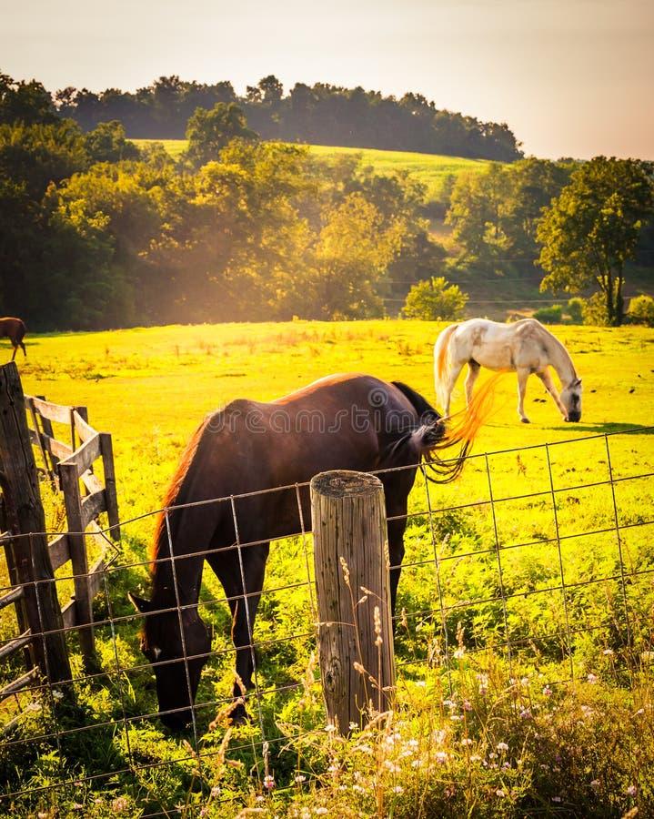 Caballos y cerca en un campo en el condado de York rural, Pennsylvania fotografía de archivo