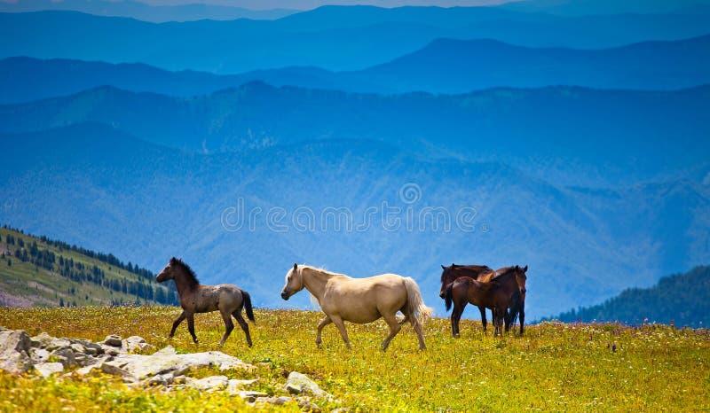 Varios caballos en campo del pico de montaña fotos de archivo libres de regalías