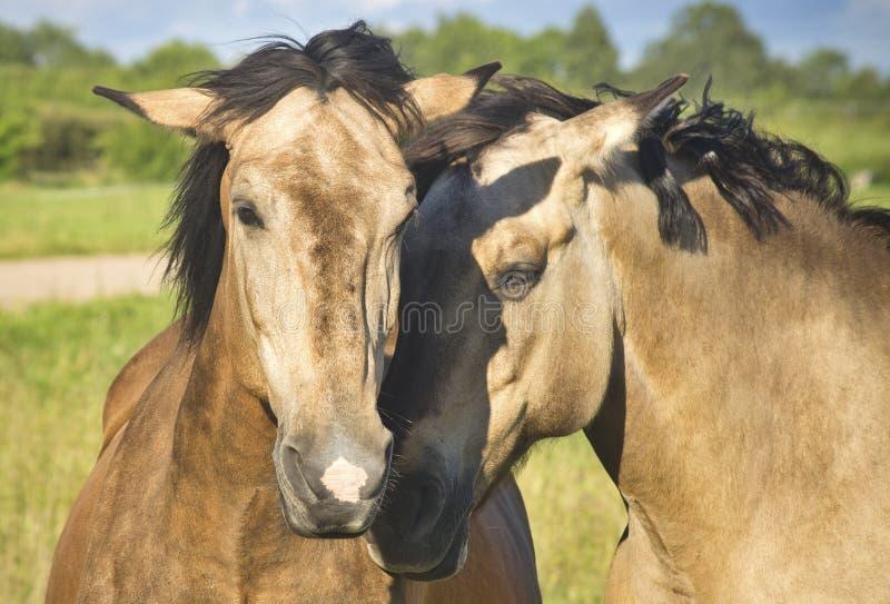 Caballus do ferus do Equus imagens de stock