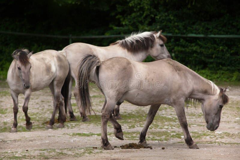 Caballus ferus Equus лошади щеколд стоковое изображение