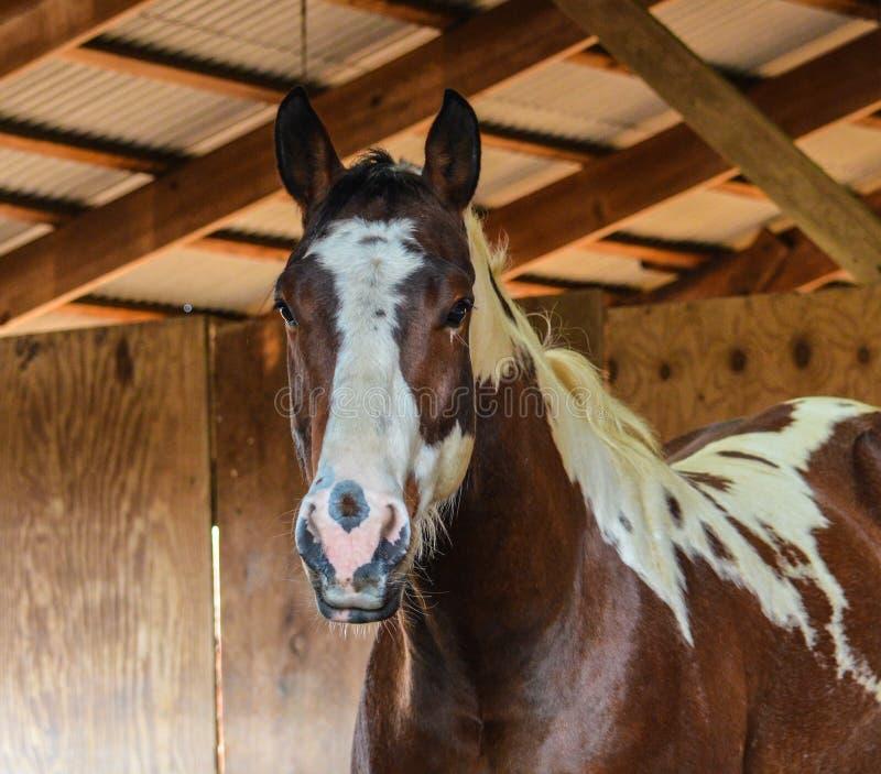 Caballus o cavallo di ferus di equus fotografia stock