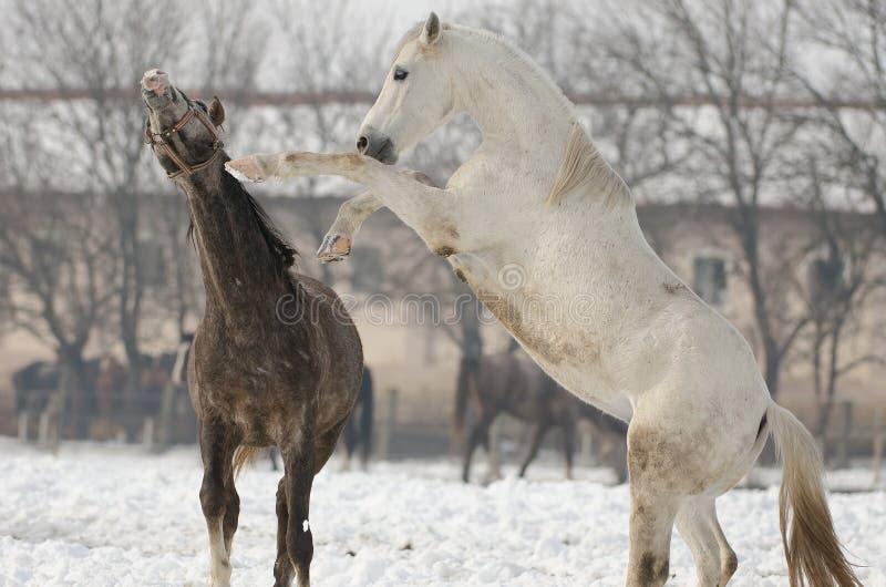 Caballus van Equusferus stock fotografie